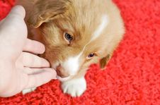 Free Nova Scotia Duck Toller Puppy Stock Images - 7906454