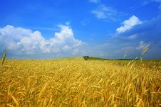 Free Yellow Field Of Wheat Royalty Free Stock Images - 7906619