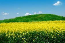 Free Green Hill On Canola Field Royalty Free Stock Photography - 7907807