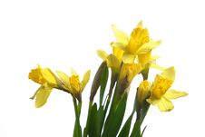 Free Daffodils In The Studio Royalty Free Stock Images - 7908009