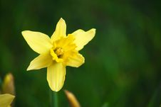 Free Daffodils In The Studio Stock Photos - 7908043