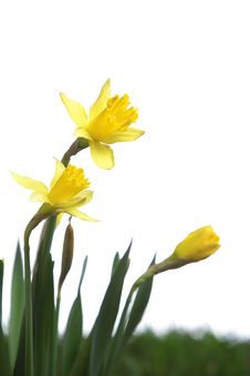 Free Daffodils In The Studio Royalty Free Stock Photos - 7908158