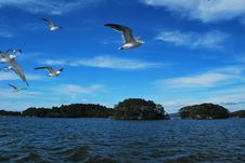 Free Flying Seagulls Royalty Free Stock Photography - 7909607