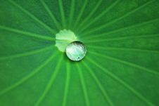 Free Lotus Leaf Royalty Free Stock Photo - 7909815