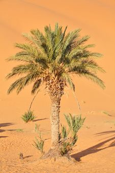 Free Lonely Palm Tree Stock Images - 7909984