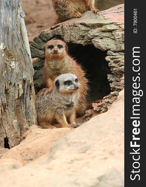 Meerkat friendship
