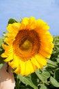 Free Sunflower Royalty Free Stock Photo - 7912525