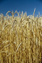 Free Field Of Wheat And Sky Royalty Free Stock Photo - 7912965