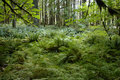 Free A Forest Of Ferns Royalty Free Stock Images - 7915079