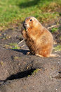 Free Prairie Dog Royalty Free Stock Images - 7915639
