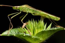 Free Shield Bug Side View Royalty Free Stock Images - 7910019