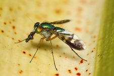 Free Long-Legged Fly Macro Stock Photos - 7910433