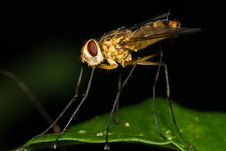 Free Long-Legged Fly Macro Side View Royalty Free Stock Photo - 7911145