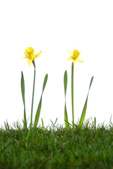 Free Daffodils In The Studio Stock Image - 7911341