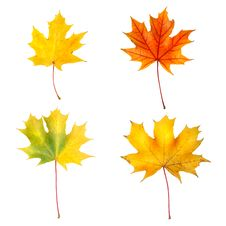 Free Autumn Maple Leaves Royalty Free Stock Photos - 7911378
