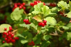 Free Red Viburnum Berry Royalty Free Stock Photo - 7911395
