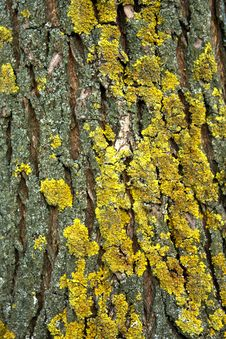 Free Yellow Cladina On Tree Bark Stock Photography - 7911472