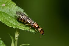 Flying Ant Royalty Free Stock Image