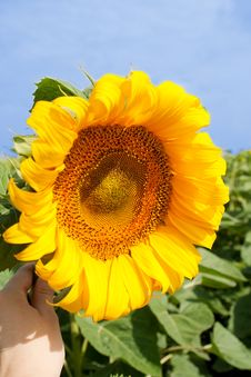Free Sunflower Royalty Free Stock Photo - 7912525