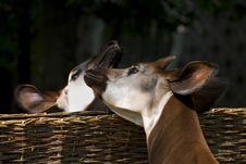 Free Kissing Okapi Stock Images - 7913014