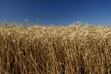 Free Field Of Wheat And Sky Stock Photo - 7913080