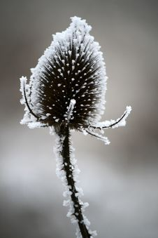 Free Winter Thistle Stock Photos - 7913123