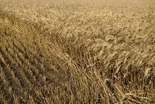 Free Hayfield Wheat Stock Image - 7913211