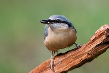 Free Nuthatch Stock Photography - 7913282