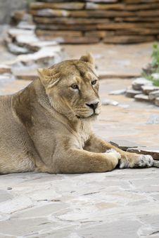 Free Yellow Lion Female Royalty Free Stock Photos - 7913288