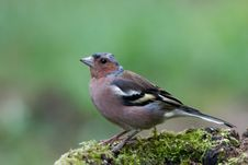 Free Chaffinch Stock Photography - 7913402