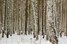 Free Birches Royalty Free Stock Photos - 7913938
