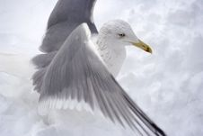 Free Seagull Royalty Free Stock Image - 7914516