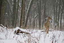 Free Doe In Snow 2 Royalty Free Stock Image - 7914736
