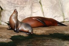 Free Sea-lions On Rocky Shore. Royalty Free Stock Photos - 7915618
