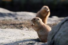 Free Prairie Dogs Stock Images - 7915724