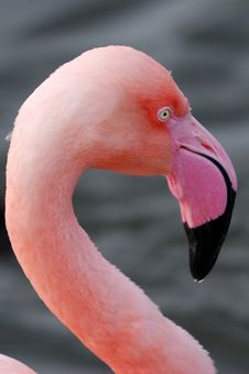 Free Closeup Of A Flamingo Stock Images - 7915744