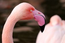 Free Closeup Of A Flamingo Royalty Free Stock Photos - 7915748