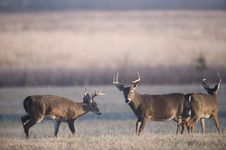 Free Three Whitetail Bucks Stock Photography - 7916572