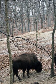 Free Buffalo Royalty Free Stock Photos - 7918918
