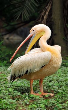 Free Pelican Royalty Free Stock Images - 7919789