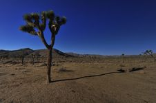 Free A Lonely Joshua Tree Stock Photography - 7919832