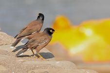 Free Two Myna Royalty Free Stock Photography - 7919967
