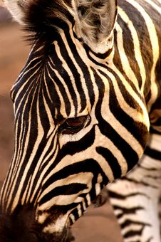 Free A Close Up Of A Zebra Royalty Free Stock Photography - 7921007