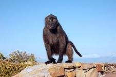 Free Baboon Royalty Free Stock Image - 7922336