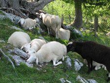 Free Alpine Herd Of Sheep Stock Photos - 7922373
