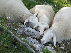 Free Alpine Herd Of Sheep Stock Photo - 7922380