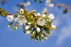Free Cherry Blossom. Royalty Free Stock Photos - 7922928