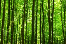 Free Green Forest Royalty Free Stock Photos - 7924238