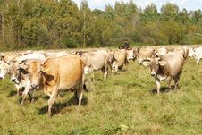 Free Herd Of Cows Royalty Free Stock Photos - 7925008