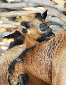 Free Goat Stock Photos - 7925393
